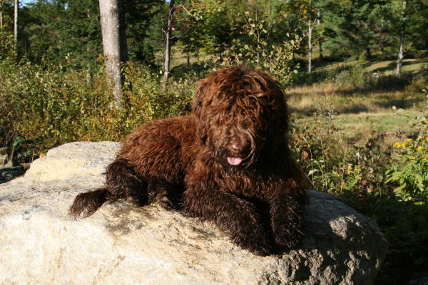 goldendoodle puppies for sale in michigan. house Goldendoodle Puppies ...
